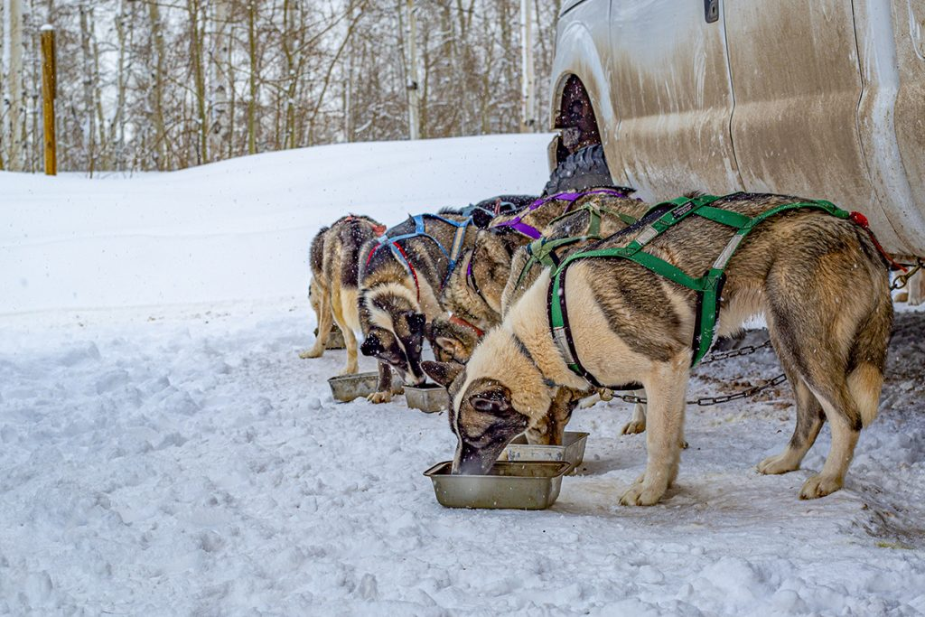 sled dogs eating breakfast for Colorado lifestyle