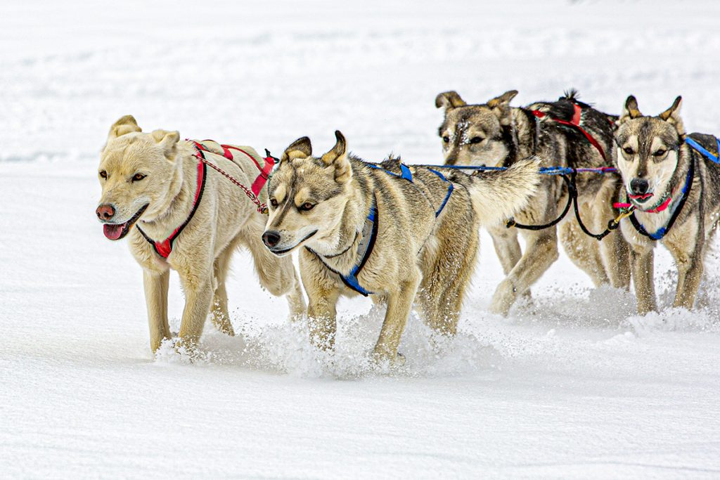 tired dogs running through the snow
