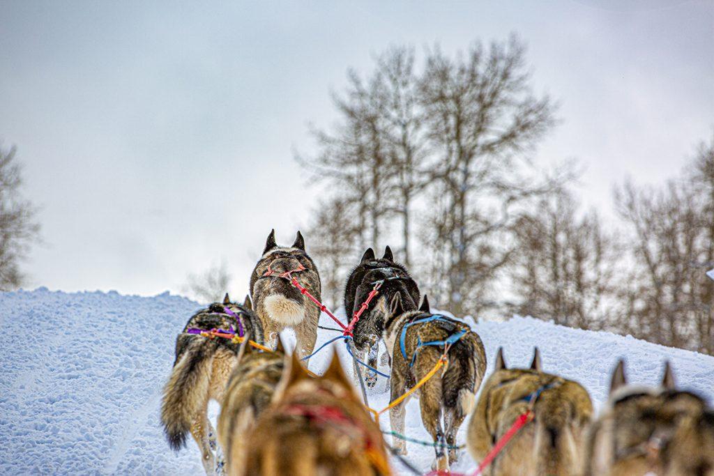 rear view of dog sledding Colorado lifestyle